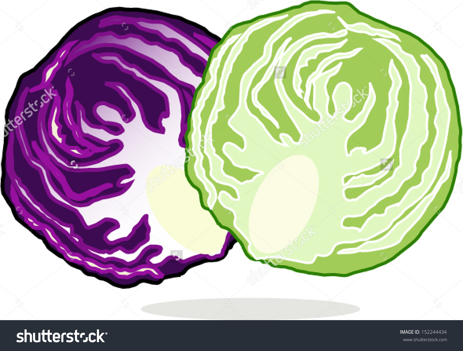 Fresh Purple Red Green Cabbage Stock Vector 152244434.