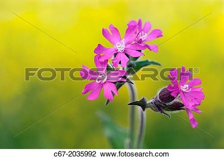 Stock Photo of Red Campion Silene dioica and Oilseed Rape field.