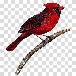 Red red red KIT, red cardinal bird transparent background.