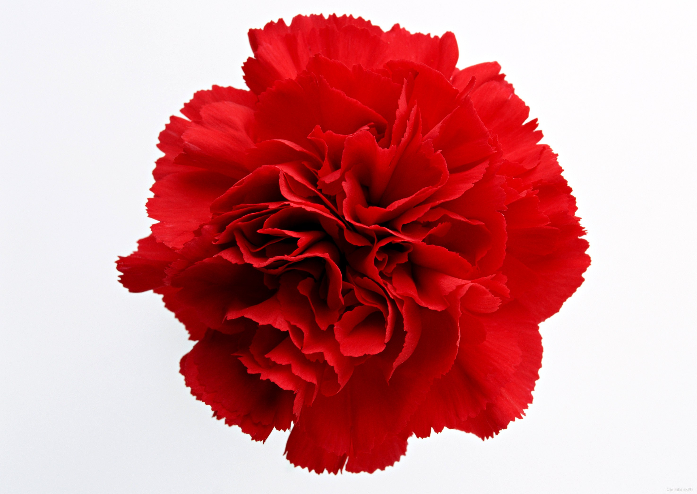 Red carnation clipart 6 » Clipart Portal.