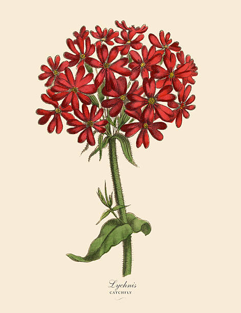 Campion Flower Clip Art, Vector Images & Illustrations.