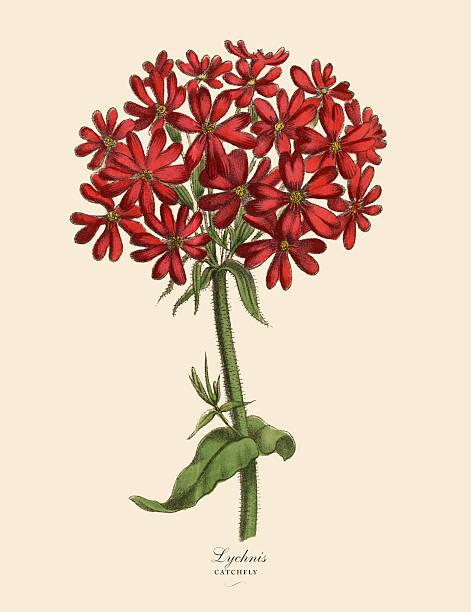 Campion Flower Clip Art, Vector Images & Illustrations.