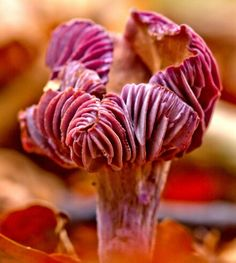 Entoloma hochstetteri, native to the west coast of New Zealand.