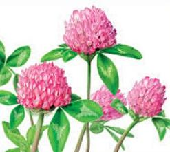 Free Red Clover Clipart.