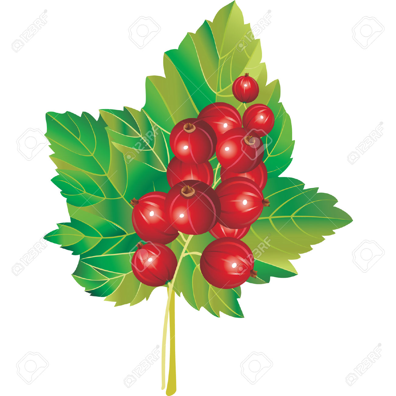 Vector Image Of Red Currant Royalty Free Cliparts, Vectors, And.