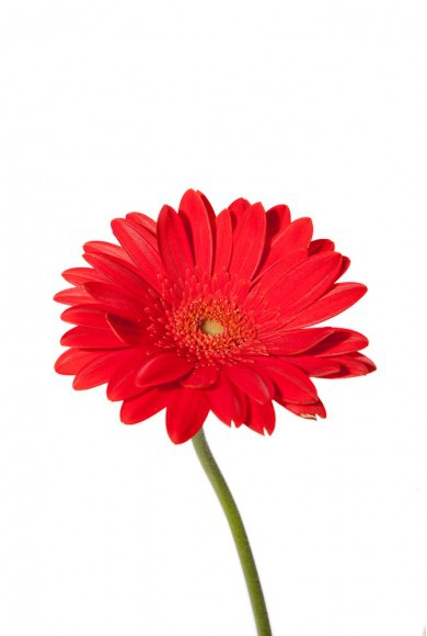 Red Daisy Clipart#2014352.