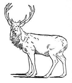 Red Deer, Antlers.
