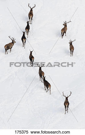Stock Image of Red Deer (Cervus elaphus). Group of stags on a.