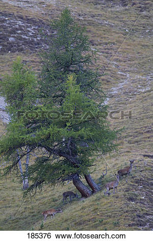 Stock Images of Red Deer (Cervus elaphus). Group on a mountain.
