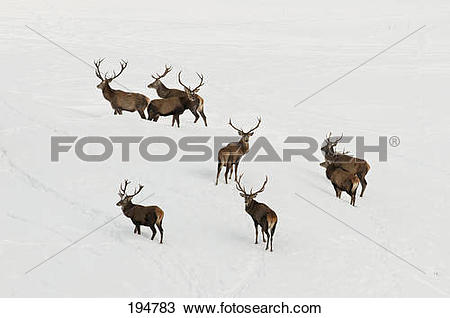 Stock Photo of Red Deer (Cervus elaphus). Group of stags on a.
