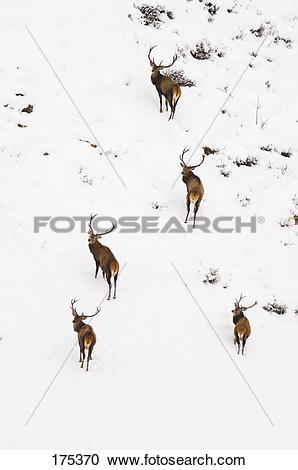 Stock Photography of Red Deer (Cervus elaphus). Group of stags on.
