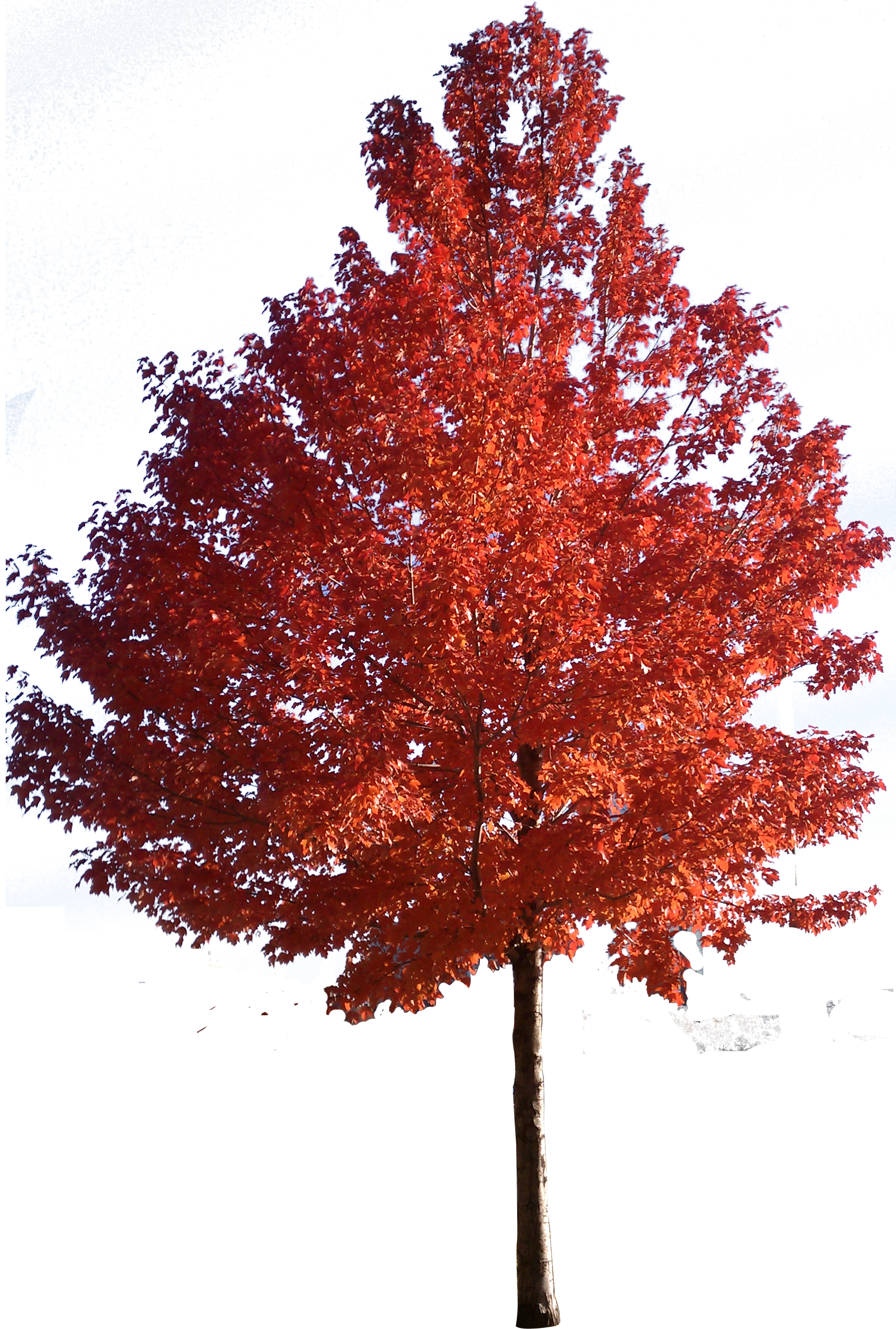 Red Tree Clipart Clipground