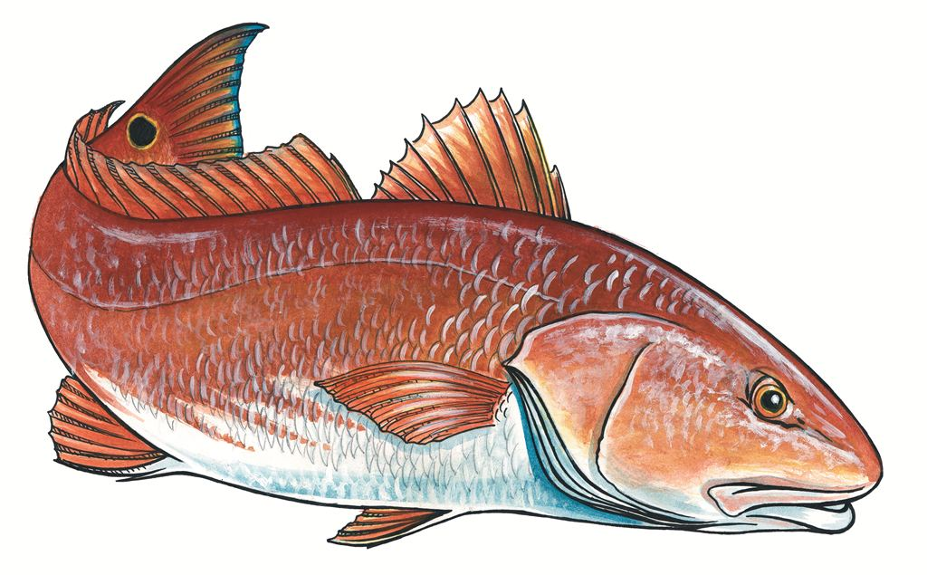 Red Drum Fish Clipart.