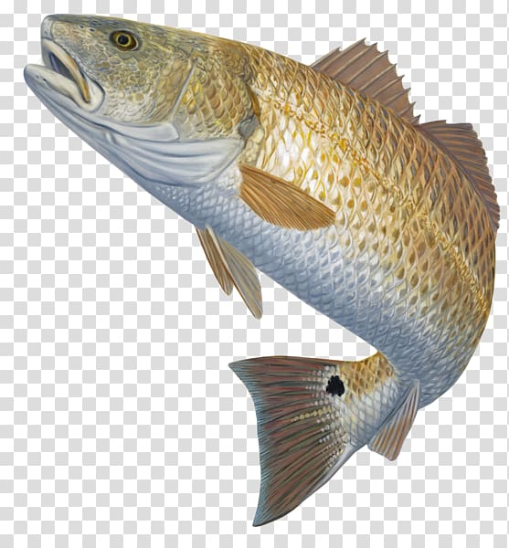 Brown and gray fish, Bass fishing Red drum Fly fishing, bass.
