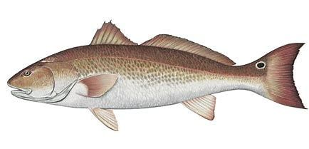 Image result for Red Drum Fish Clip Art.