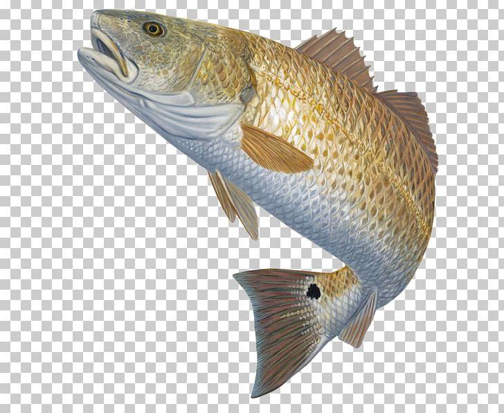 Bass Fishing Red Drum Fly Fishing PNG, Clipart, Barramundi.