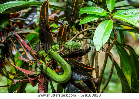 Green Pit Viper Stock Images, Royalty.