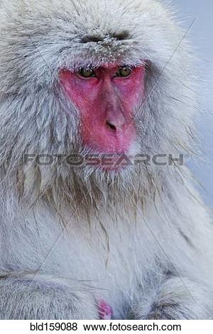 Pictures of Close up of fur and red face of monkey bld159088.