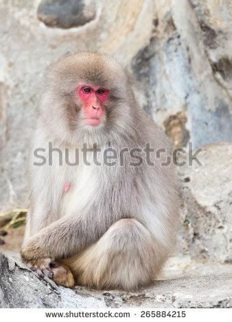 Japanese Macaque Stock Photos, Royalty.