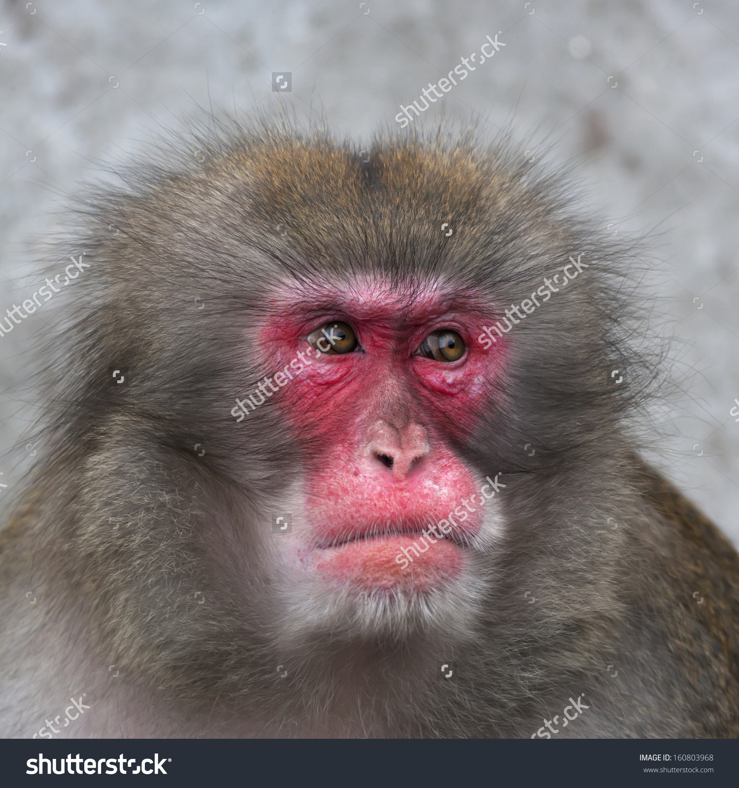 Side Look Japanese Macaque Male Expressive Stock Photo 160803968.