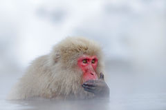 Portrait Of Monkey In Water. Monkey Japanese Macaque, Macaca.