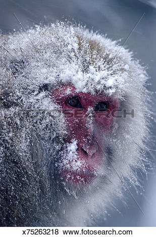 Pictures of snow monkey or japanese red.