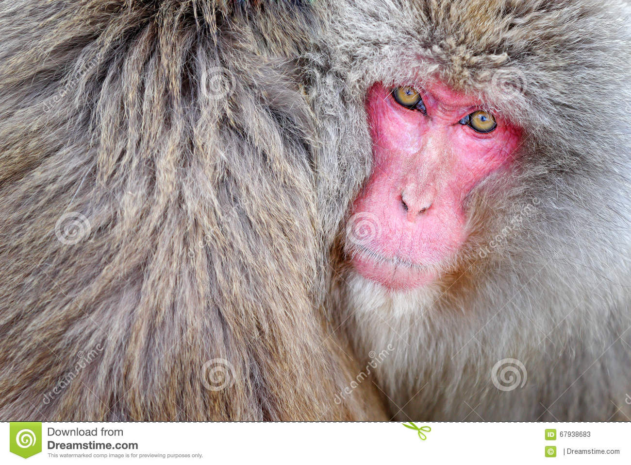 Monkey Japanese Macaque, Macaca Fuscata, Detail Red Face Portrait.