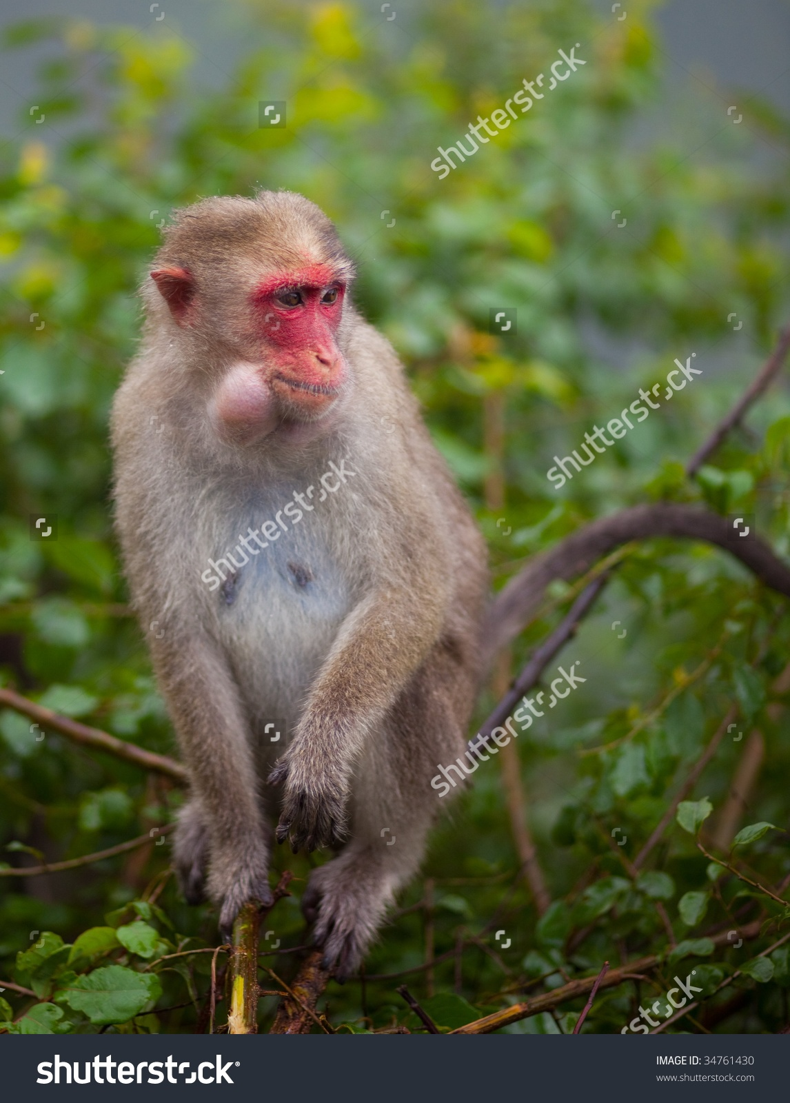 Redfaced Macaque Monkey Tree Stock Photo 34761430.