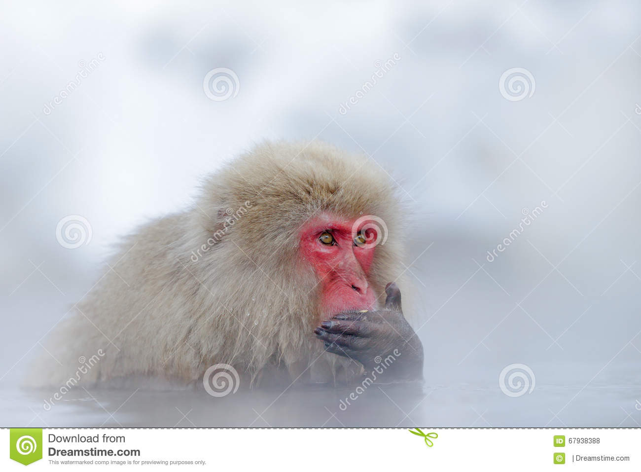 Monkey Japanese Macaque, Macaca Fuscata, Red Face Portrait In The.