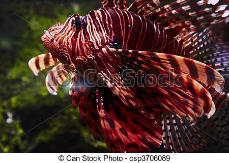Stock Photographs of red firefish.