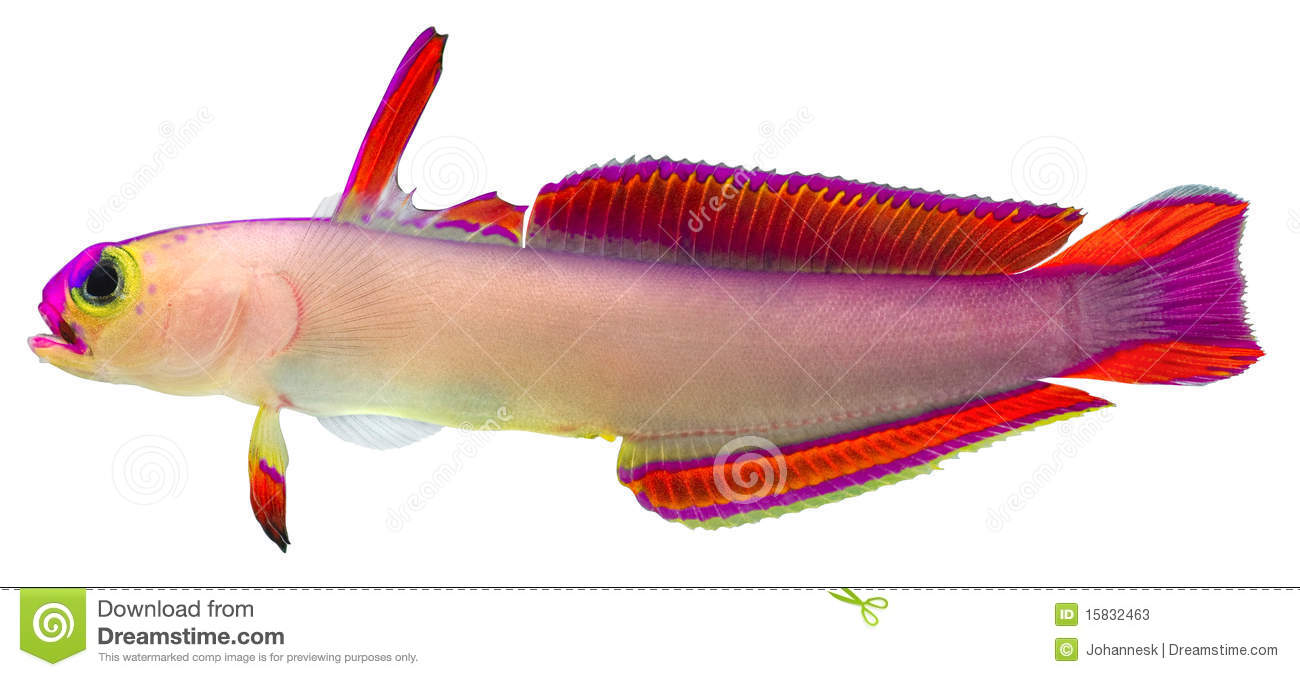 Purple Firefish Stock Photos.