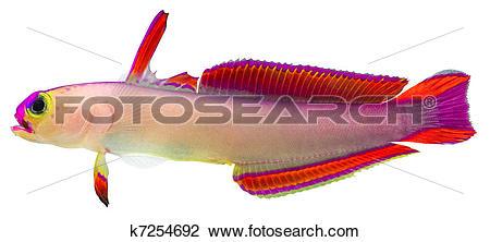 Stock Photo of Purple Firefish k7254692.