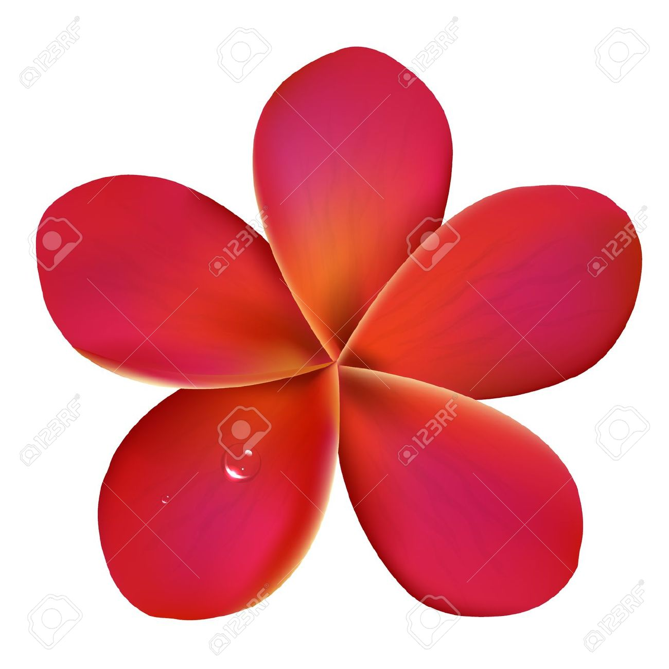 Pink Frangipani With Water Drops, Isolated On White Background.