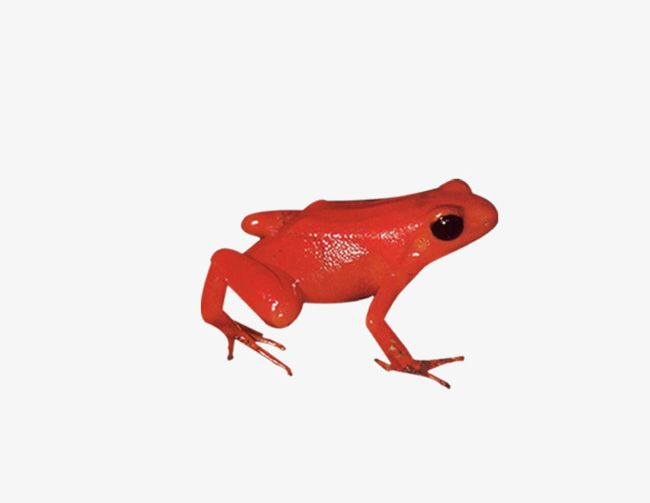 Red Frog PNG, Clipart, Animal, Biological, Frog, Frog.