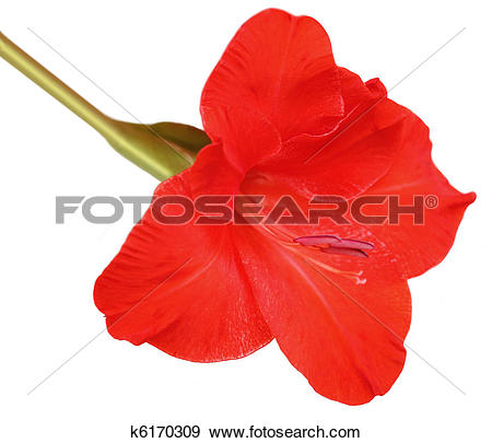 Stock Photograph of Red Gladiolus k6170309.