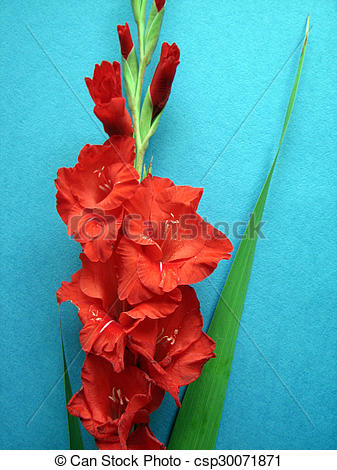 Stock Illustrations of red gladiolus flowers on a background.
