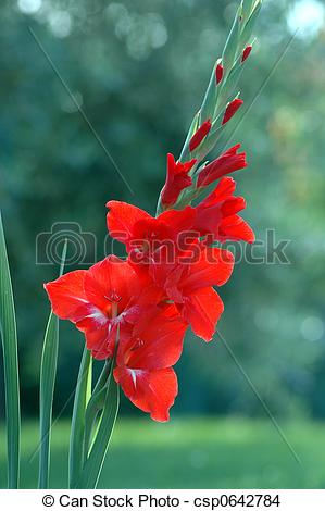 Stock Photo of Red gladiolus 1.