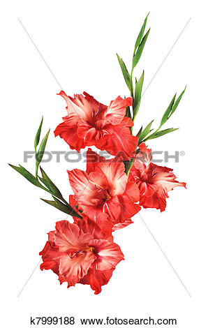 Pictures of beautiful red gladiolus isolated on white background.