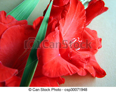 Drawing of red gladiolus flowers on a background csp30071948.
