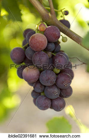 "Stock Photography of ""Red grapes on a vine, """"""""Cardinal"""""""" grape."