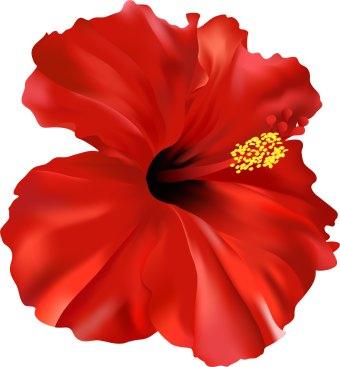 Gumamela flower clipart.