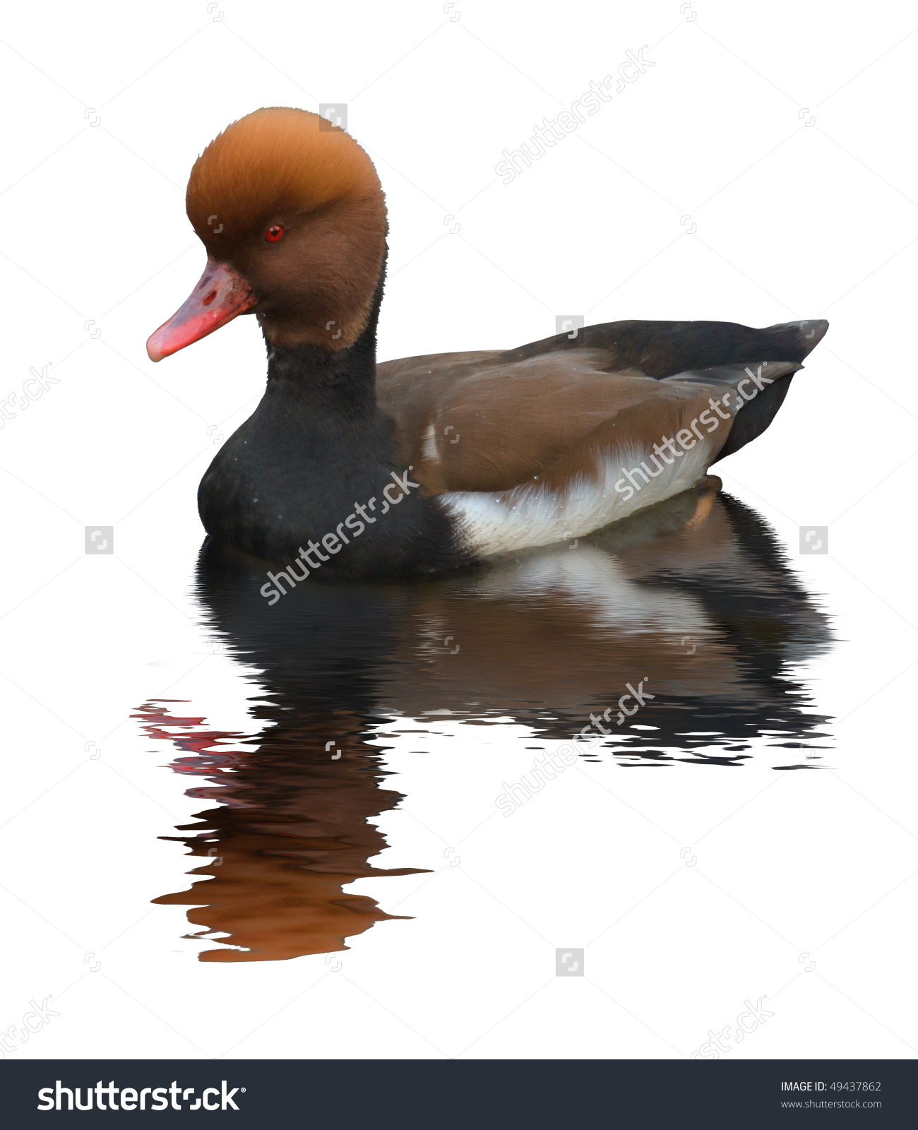 Pochard Duck (Aythya Ferina). A Medium.