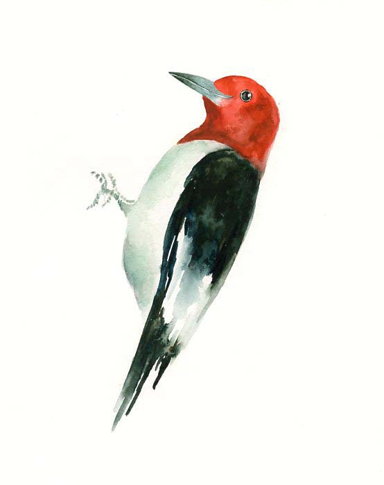 red headed woodpecker clipart #7