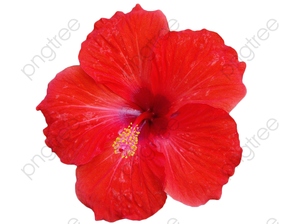 Red Hibiscus Flower, Flower Clipart, Hibiscus, Flowers PNG.