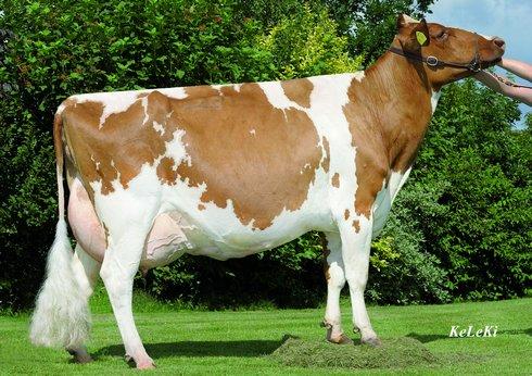 Red Holstein Bull.