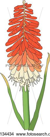 Clipart of Red Hot Poker u11134434.