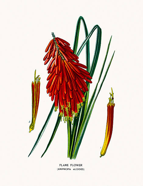 Red Hot Poker Clip Art, Vector Images & Illustrations.