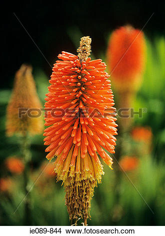 Stock Photo of Red hot poker ie089.