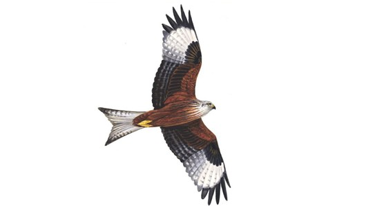 The RSPB: Red kite.