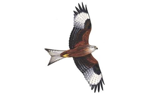 The RSPB: Red kite.